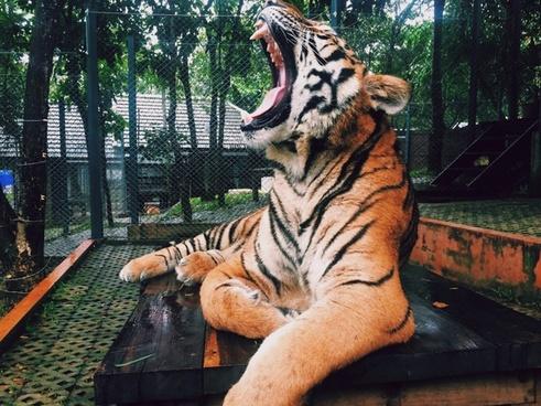 animal art big cat color danger face fierce mammal