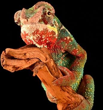 animal artistic chameleon color colour contrast