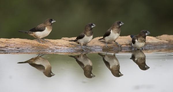 animal aves avian bird chick feeding fly grey