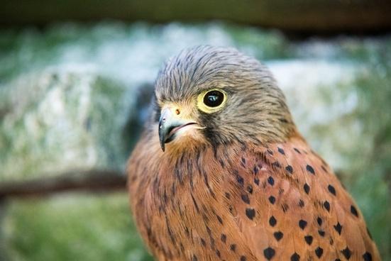 animal avian beak bird bird of prey eagle eyes