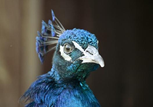 animal avian beak bird christmas color colour crest