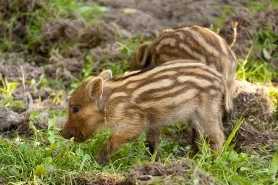 animal baby boar