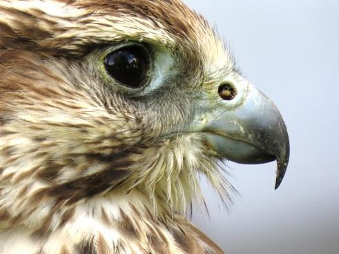 animal beak bird bird of prey eagle eyes face