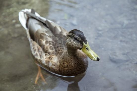 animal beak bird daytime drake duck duckling