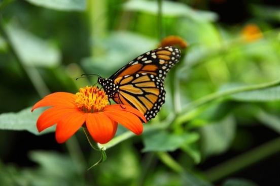 animal beautiful monarch