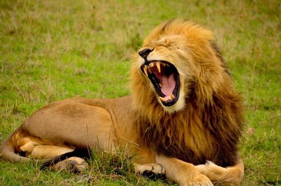 animal big carnivore cat dog feline fur grass
