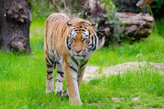 big striped tiger walking in zoo