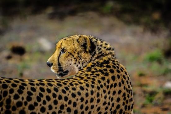 animal big cat cat cheetah cub danger daytime