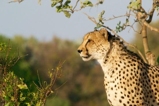 animal big cat cat cheetah daytime endangered species