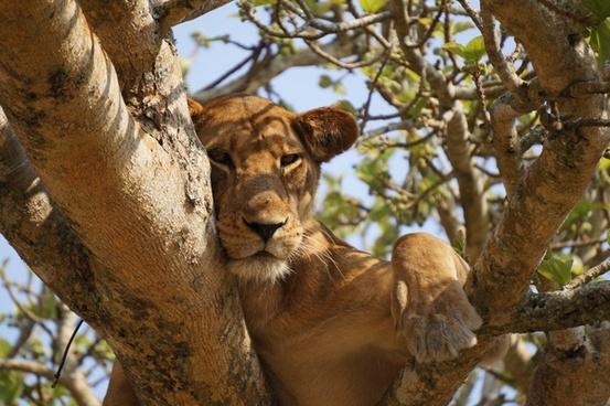animal big cat cat eyes feline forest fur lion