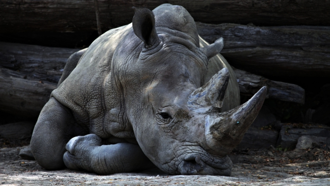 big rhino lying on ground