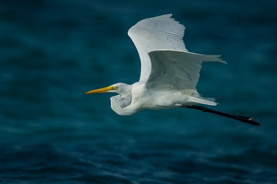 animal bird egret flight fly fowl free gull heron