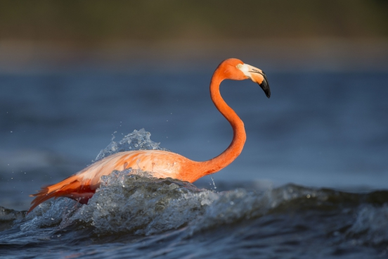 flamingo swimming on wave