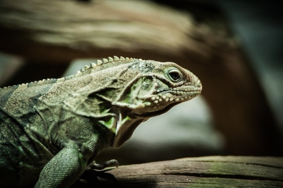 animal branch camouflage chameleon dragon exotic