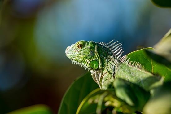 animal branch chameleon closeup color dragon exotic
