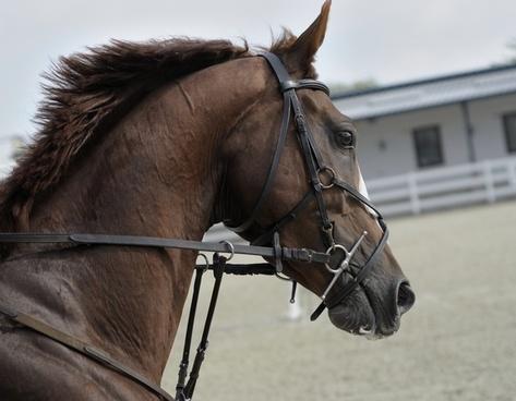 animal bridle caballo dressage equestrian equine