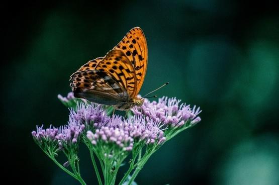 animal bug butterfly delicate feeding flower fly
