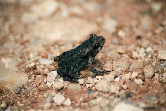 animal camouflage closeup dirt frog gecko ground
