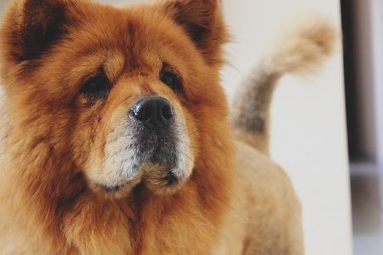 animal canine cute dog eyes fluffy fox fur hair