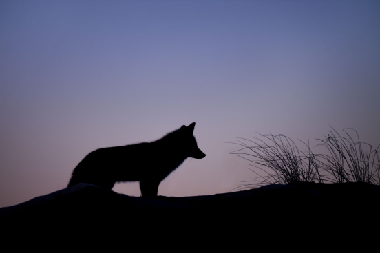 silhouette of wild fox in sunset