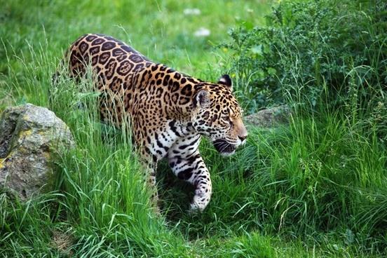 animal carnivore cat