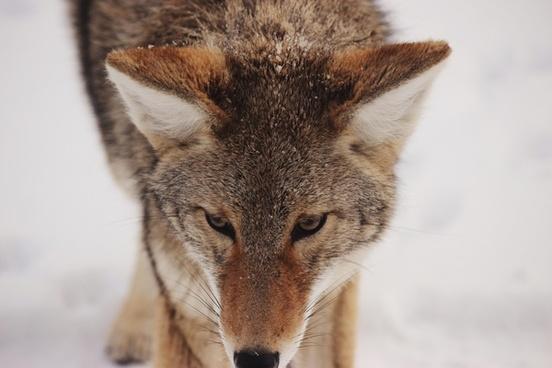 animal cat coyote cute eyes fox fur hair hunter