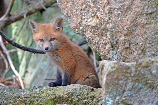 animal cat cute daytime feline forest fox looking