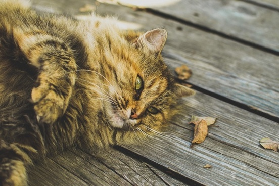 animal cat cute domestic domestic cat eyes feline