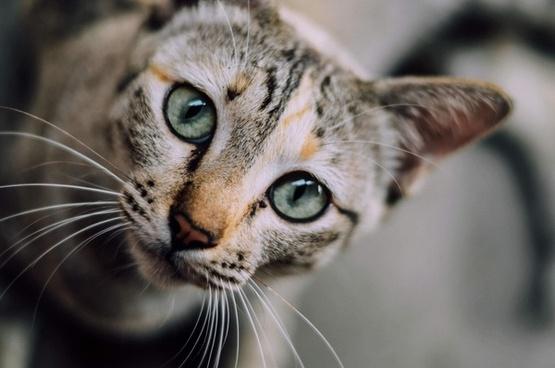 animal cat cute eyes face feline fur head kitten