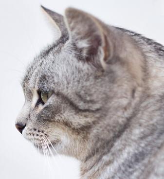 animal cat cute eyes feline fur grey hair looking