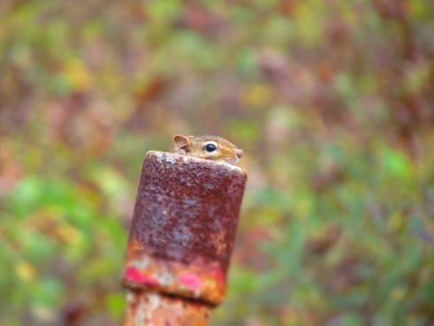 animal close up hiding pipe rural squirrel