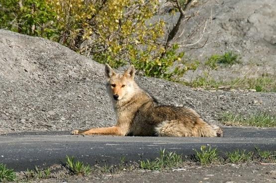 animal coyote fox