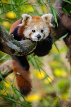 cute panda lying on branch