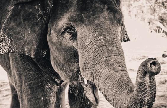 animal danger elephant head large mammal nature