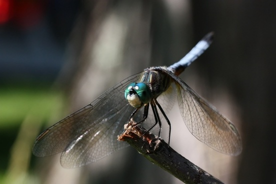 animal dragonfly nature