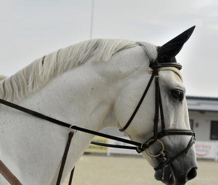 animal equestrian equine farm fence harness horse