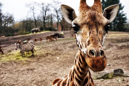 animal farm fauna forest giraffe grass herbivore