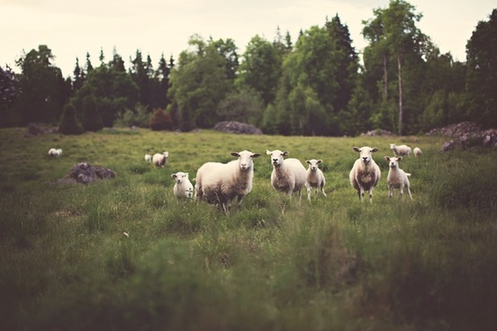 animal field forest grass lamb nature rock sheep