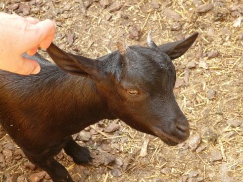 animal goat baby goat