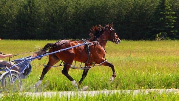 animal horse standardbred