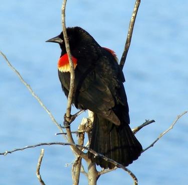 animal nature red winged blackbird