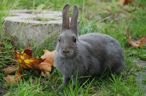 animal rabbit gray
