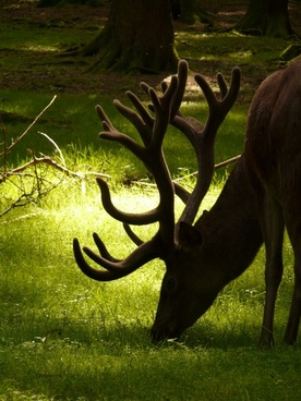 animal red deer hirsch