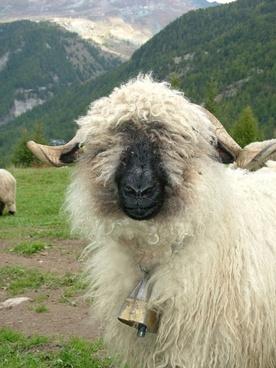 animal sheep black-nosed sheep
