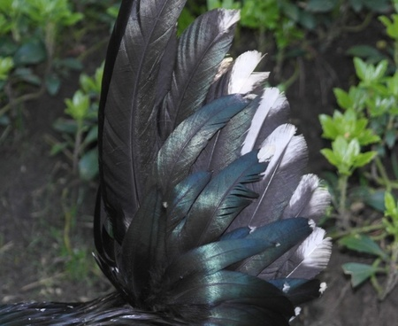 animal springs feather black