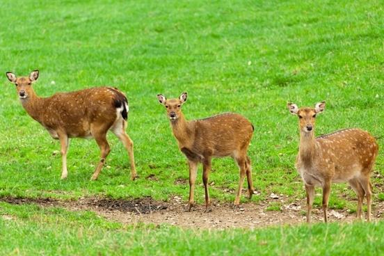 animal three deers