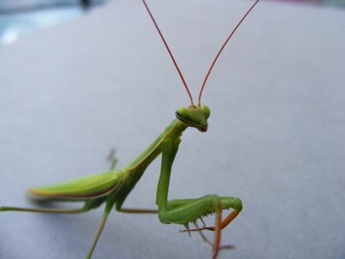 animals wildlife insects locusta