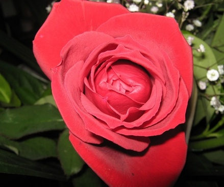 another beautiful red rose