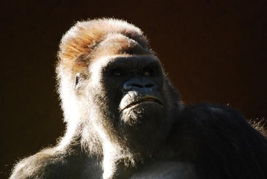 anthropomorphic ape baboon daytime endangered species