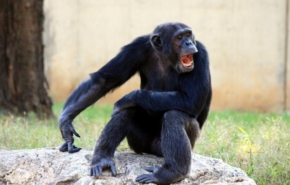 ape chimp chimpanzee